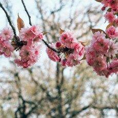 Cherry Blossom Alkmaar 02