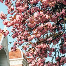 Cherry Blossom Alkmaar 07