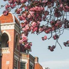 Cherry Blossom Alkmaar 04
