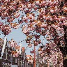 Cherry Blossom Alkmaar 09