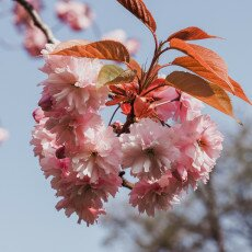 Cherry Blossom Alkmaar 06