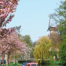 Cherry Blossom Alkmaar 12