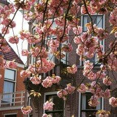 Cherry Blossom Alkmaar 13