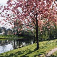 Cherry Blossom Alkmaar 20
