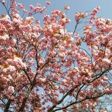 Cherry Blossom Alkmaar 18