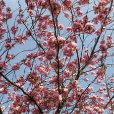 Cherry Blossom Alkmaar 16