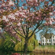 Cherry Blossom Alkmaar 19