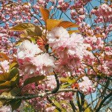 Cherry Blossom Alkmaar 21
