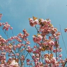 Cherry Blossom Alkmaar 22