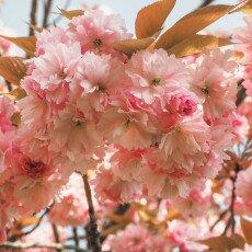 Cherry Blossom Alkmaar 11
