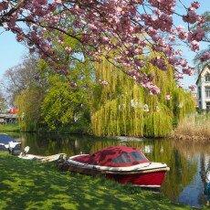 Cherry Blossom Alkmaar 23