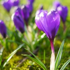 Portrait of a purple crocus