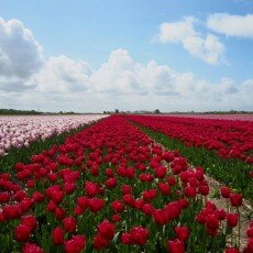 Tulip fields 03