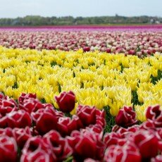 Tulip fields 04
