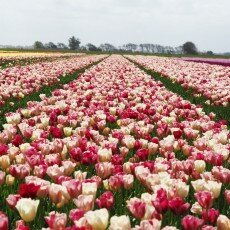 Tulip fields 05