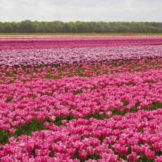Tulip fields 09