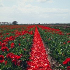 Tulip fields 13
