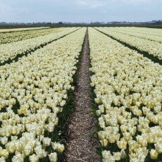 Tulip fields 14