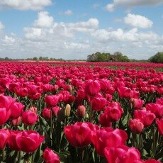 Tulip fields 20
