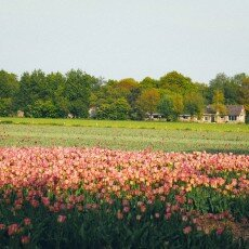 Tulip fields 23