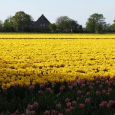 Tulip fields 25