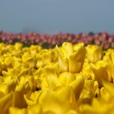 Tulip fields 26