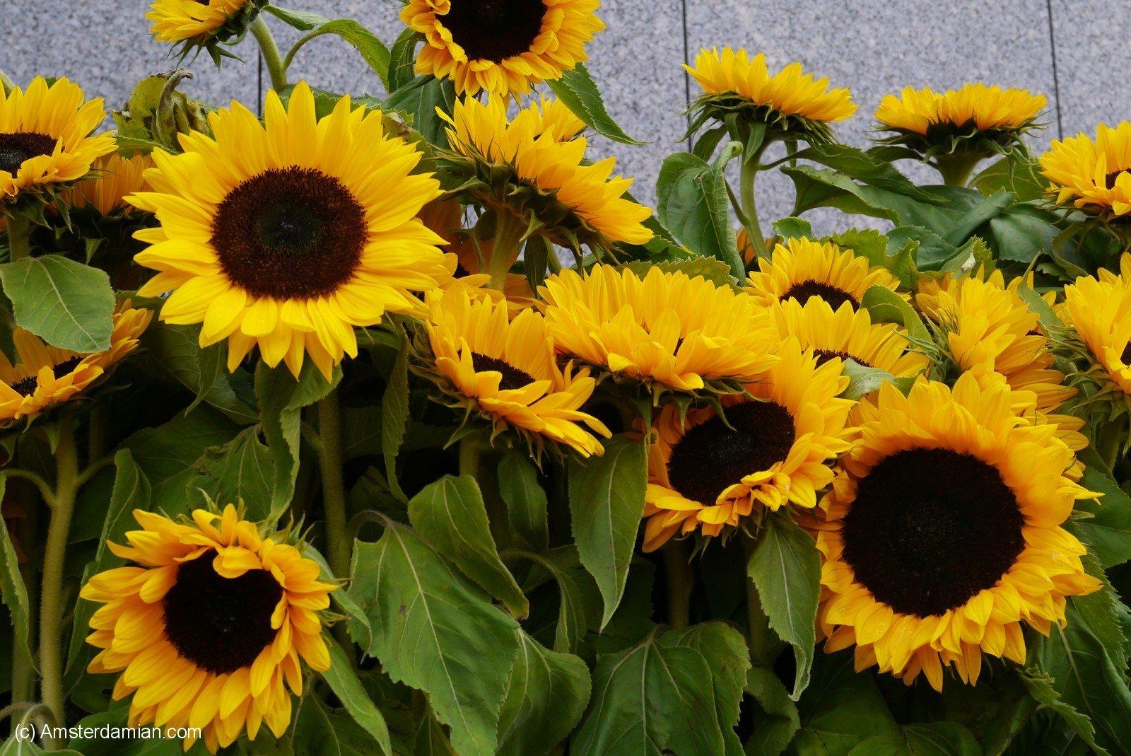 Van Gogh Sunflower Labyrinth 02