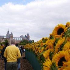 Van Gogh Sunflower Labyrinth 03