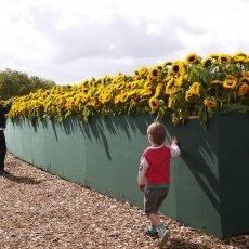 Van Gogh Sunflower Labyrinth 08