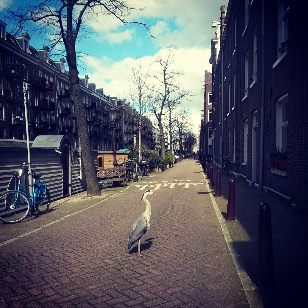 Grey Heron on the street