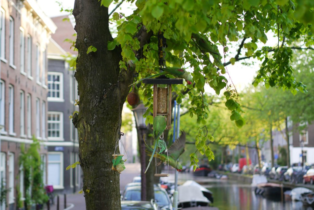 Green parakeets on Amsterdam 01