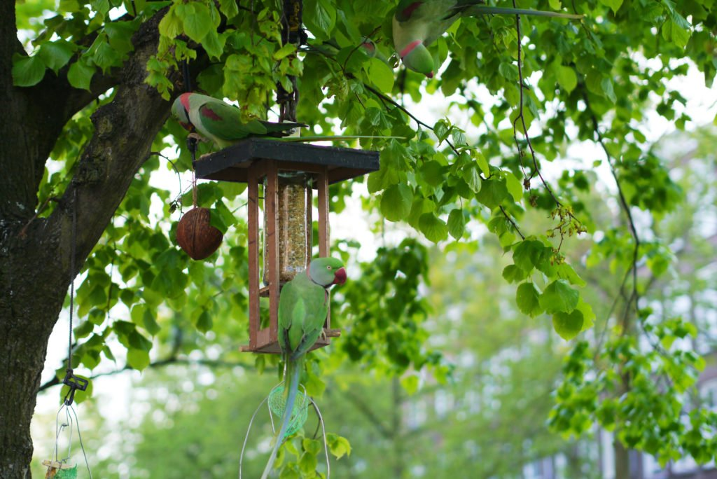 Green parakeets on Amsterdam 02