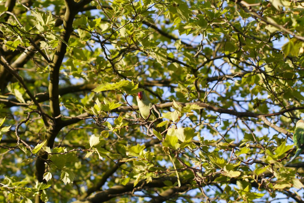 Green parakeets on Amsterdam 03