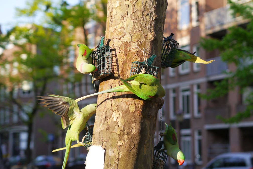 Green parakeets on Amsterdam 04