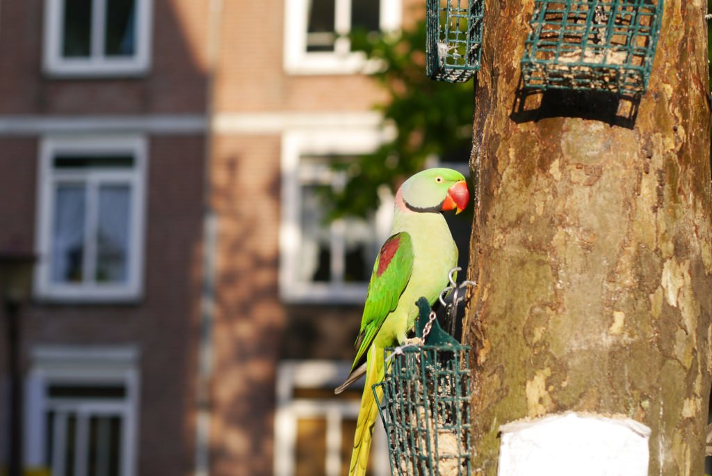 Green parakeets on Amsterdam 05