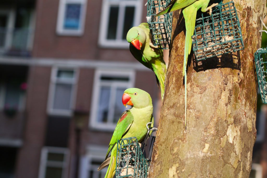Green parakeets on Amsterdam 06