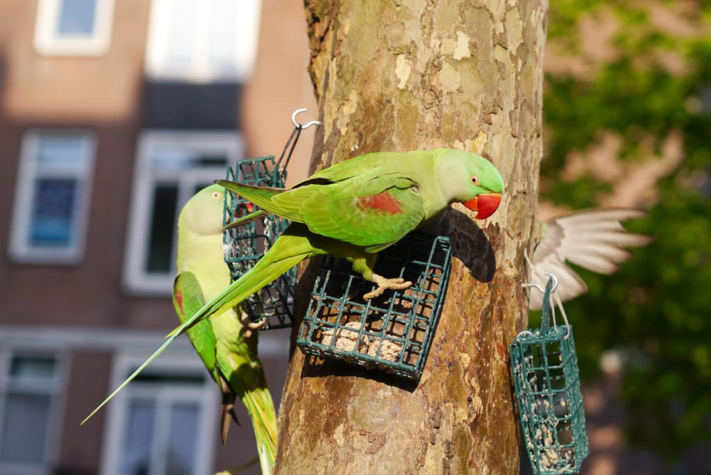 Green parakeets on Amsterdam 07