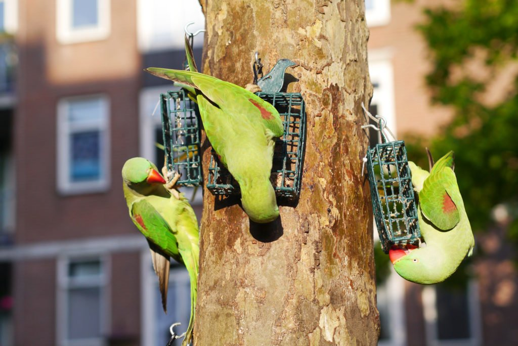 Green parakeets on Amsterdam 08