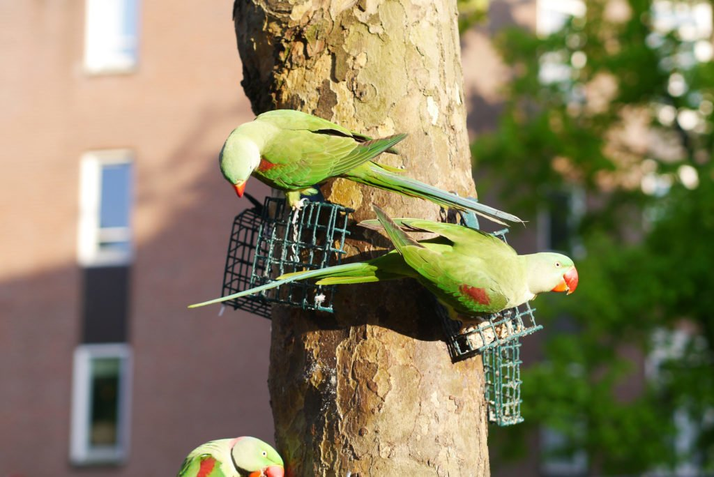 Green parakeets on Amsterdam 09