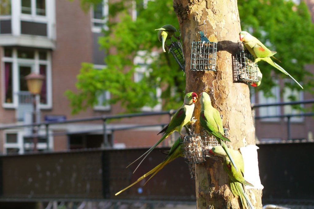 Green parakeets on Amsterdam 10