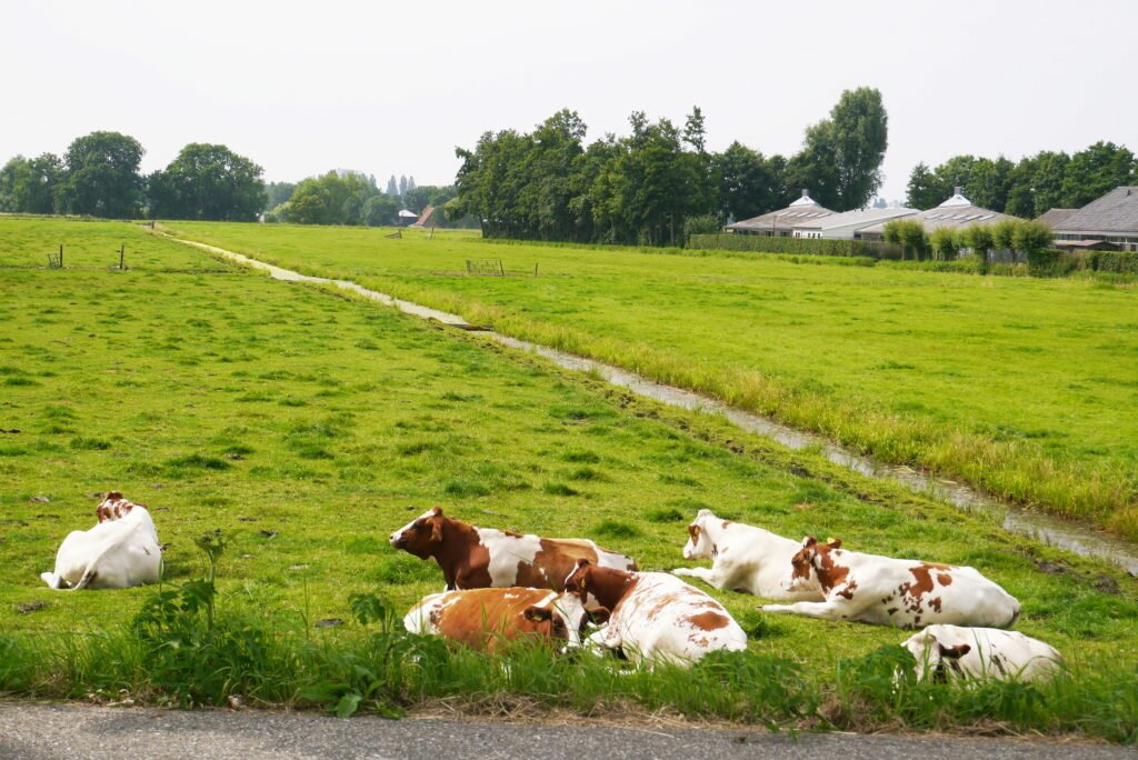 Cows and fields along Amstel River