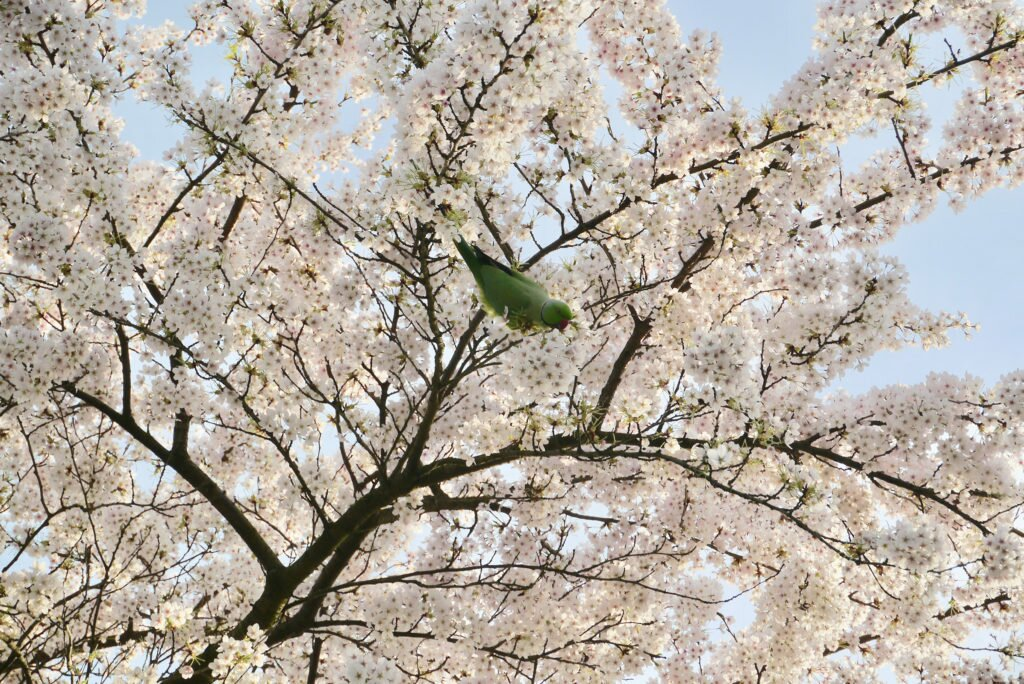 Green parakeet and cherry blossom