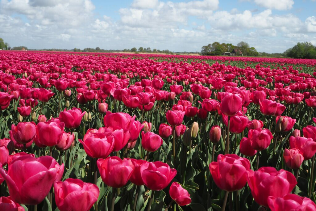 Tulip fields close to Alkmaar