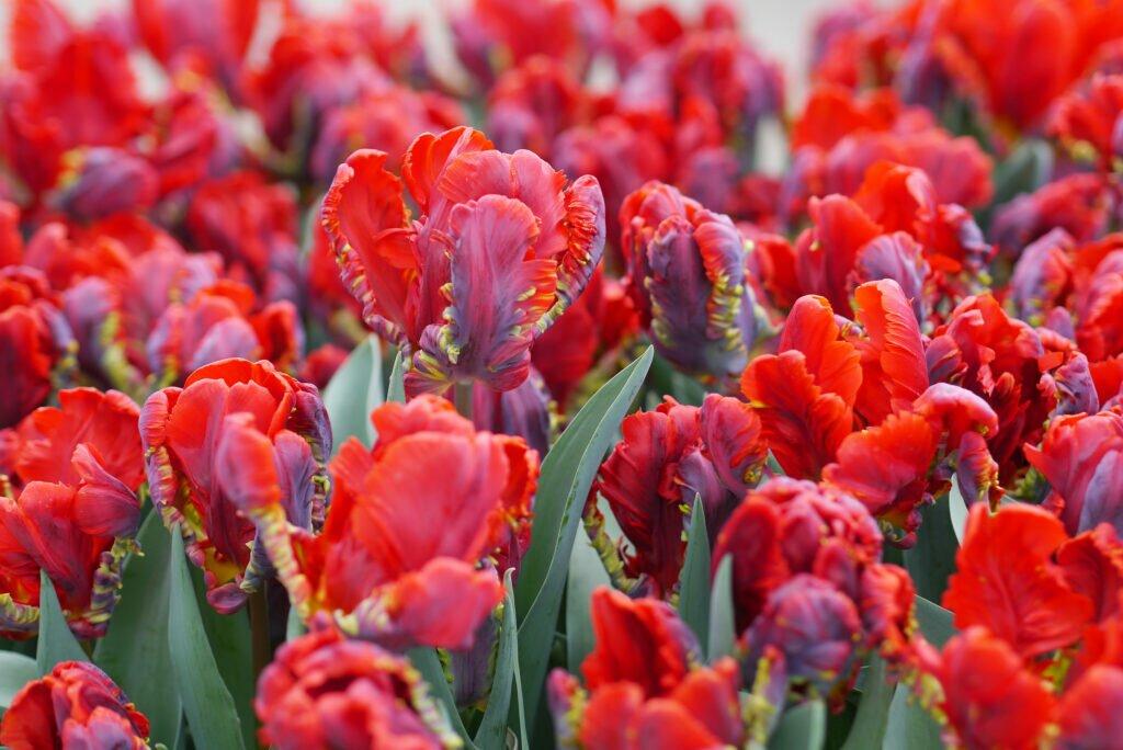 Tulip fields 04