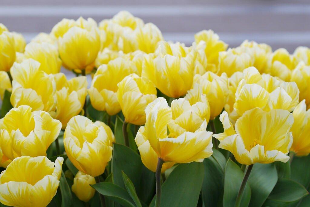 Tulip fields 13
