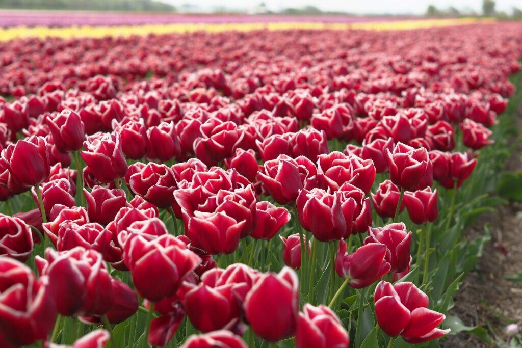 Tulip fields 02