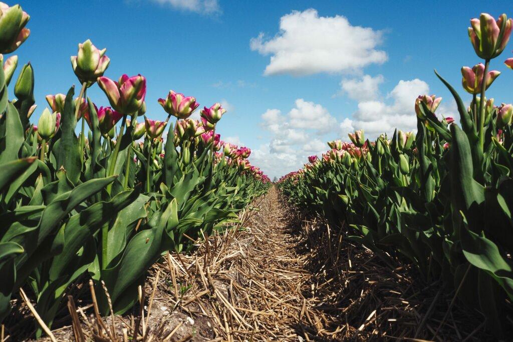 Tulip fields 05