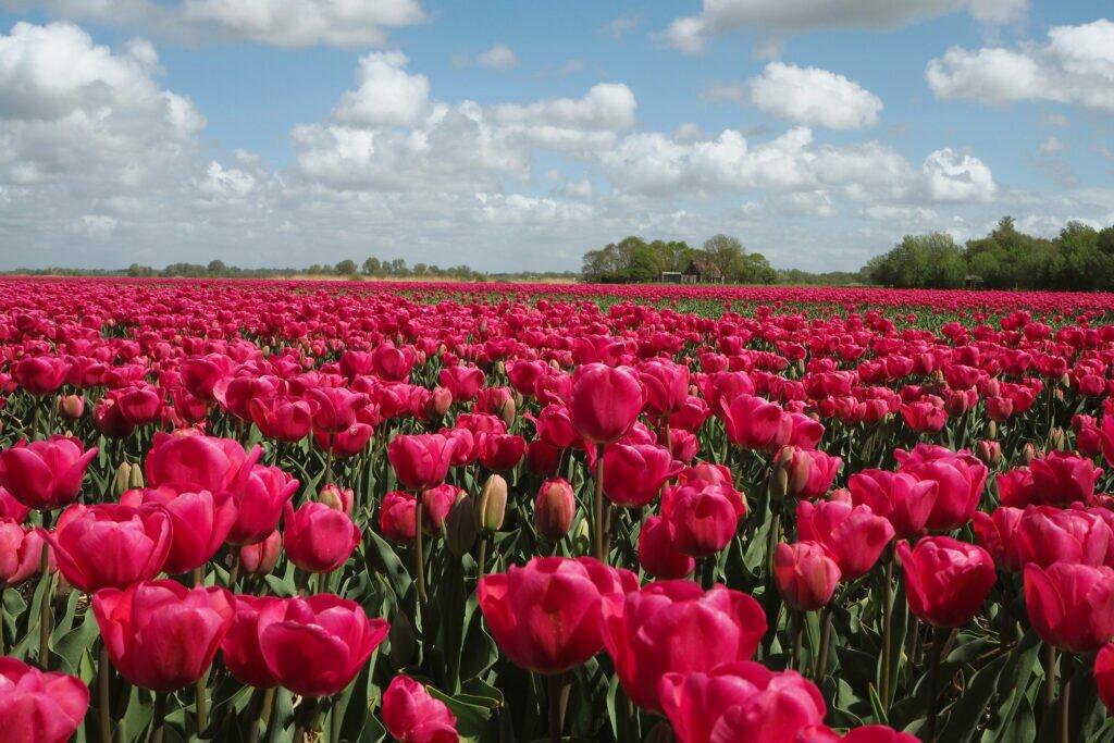 Tulip fields 08