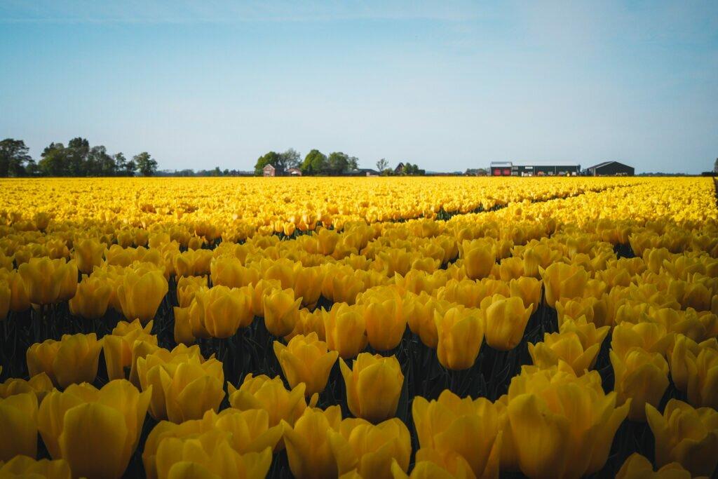 Tulip fields 11