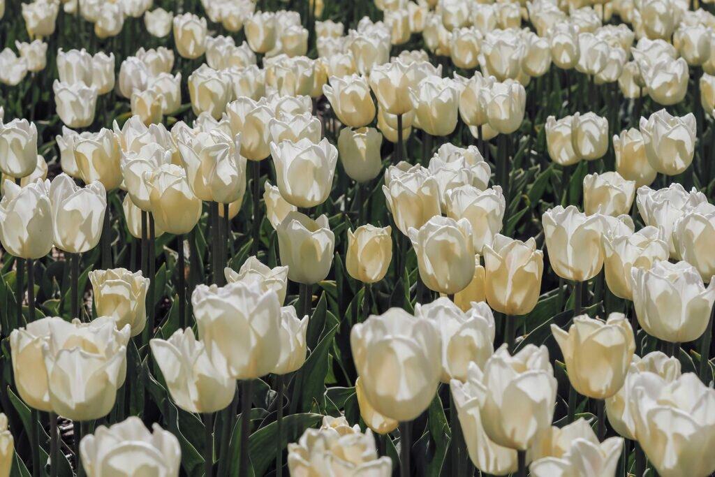 Tulip fields 06